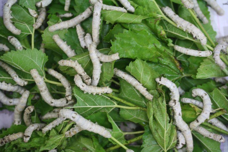 「シルクワーム 爬虫類」の画像検索結果