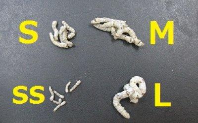 画像2: シルクワーム Mサイズ 10匹単位