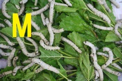画像1: シルクワーム Mサイズ 10匹単位