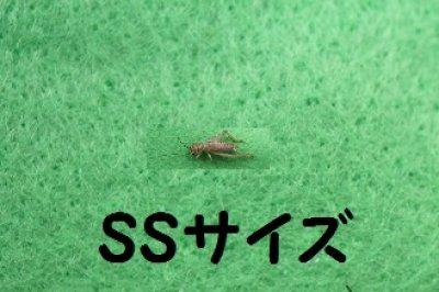 画像4: こだわりのヨーロッパイエコオロギ Sサイズ 10匹単位